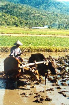 Reisbauer bei seiner mühevollen Arbeit