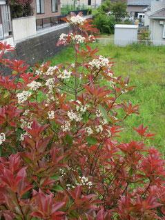 育ちに育って2階ベランダから手に届くまでになったベニカナメモチの木。赤い葉に生える白い花が満開。