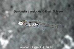 415...Danionella transfucida