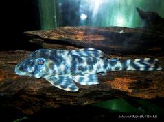 LDA 018-3 Peckoltia sp. Marble-Spot