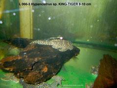 L 066-3 Hypancistrus sp.King-Tiger