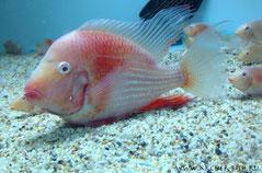 Acarichthys hekeli Albino L 17-18 cm