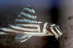 L 046 H. zebra, Классика