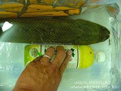Polypterus ansorgii Jumbo size 2