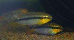 560302 Pelvicachromis roloffi wild