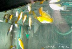 433124 Mollienesia sailfin Green-Copper