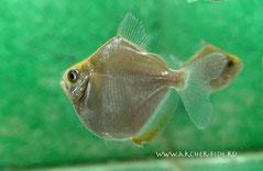 Metynnis hypsauchen (Метиннис обыкновенный)