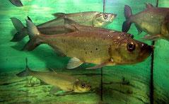 Culter erythropterus (Predatory carp)