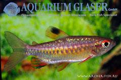 100203 Arnoldichthys spilopterus