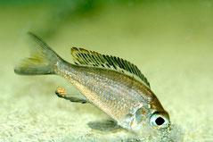BZ 0201 Cal. macrops. Взрослый самец