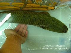 Polypterus ansorgii Jumbo size