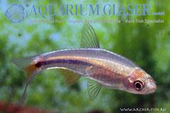 446002 Rasbora paucisqualis, Самец
