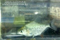Serrasalmus rhombeus, 8 cm