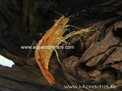 Macrobrachium esculentum, Самка