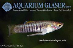 438352 Neoheterandria elegans, Самец