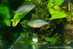 Glossolepis wanamensis (Глоссолепис ванамский), Молодь