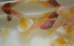 "Guppy Naked Albino (Гуппи ""голые"". Альбиносы)"