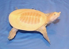 "Soft shell turtle ""Albino"""