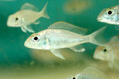 BZ 0200-BZ 0201 Callochromis macrops. BZ 0250 Cyprichromis sp.