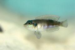 180273 Neolamprologus ocellatus