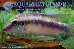 559533 Pelvicachromis humilis Dikinyan Red/Blue, Самец