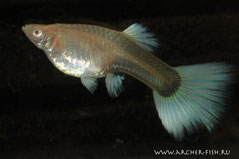 419151 Guppy Canada Albino, Самка