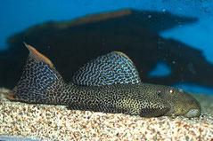 L 114 Взрослый сом в аквариуме
