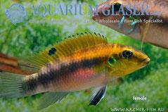 559533 Pelvicachromis humilis Dikinyan Red/Blue, Самка