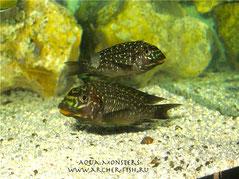 Petrochromis trewavasae 6 cm.