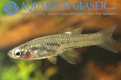416602 Girardinus falcatus, самка