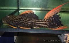 L 025-6 Pseudoacanthicus Scarlet 20-25 cm