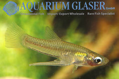416602 Girardinus falcatus, самец