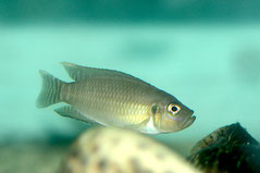 180253 Neolamprologus Brevis