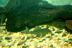 L 128 В аквариуме
