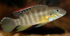 560332 Pelvicachromis rubrolabiatus wild