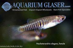 438352 Neoheterandria elegans, Самка