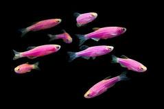"Brachidanio sp.Glow-fish Red  ( Данио неоновые красные ""Гло-фиш"" )"