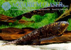 202794 Adontosternarchus nebulosus, Пара