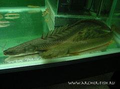 Polypterus lapradei Nigeria