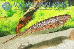 202782 Adontosternarchus clarkae