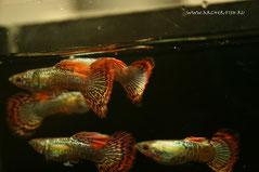 Guppy Chili Platinum Mosaic (Гуппи чилийские мозаичные), Самцы