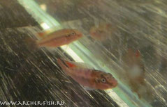 554662 Nanochromis (Congochromis) sabinae Super red, Пара