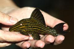 L 027c Panaque sp. nigrolineatus Golden Line Aragua Rio Tocantins