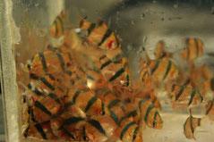 Barbus tetrazona (Барбус суматранский)