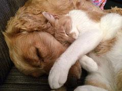 Un chien marron clair et un chat roux et blanc dorment l'un sur l'autre par coach canin 16 éducateur canin en charente