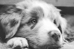 la tête d'un chien blanc et gris couché au sol, la tête posée sur sa patte par coach canin16 éducateur canin en charente