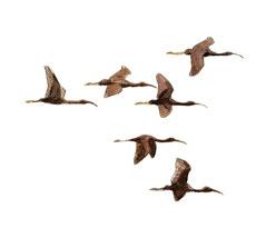 Ibis falcinelle © Cyril Girard