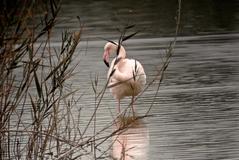 Flamenco rosa  del Parque Natural del Fondo,Comunidad Valenciana.