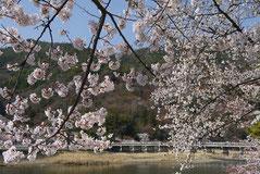 嵐山の桜 (無料写真を使用)