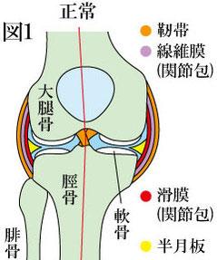 膝関節 正常